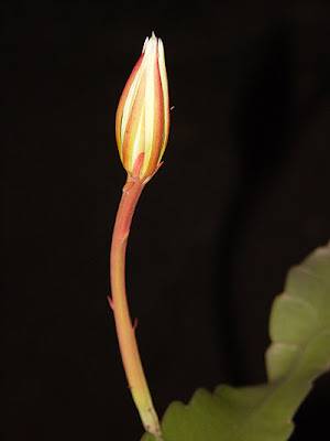 Hoa quỳnh 18
