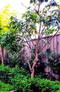 A Young Longan Tree