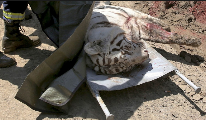 tiger killed man tbilisi