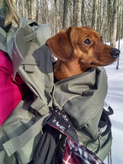 dachshund in a backpack