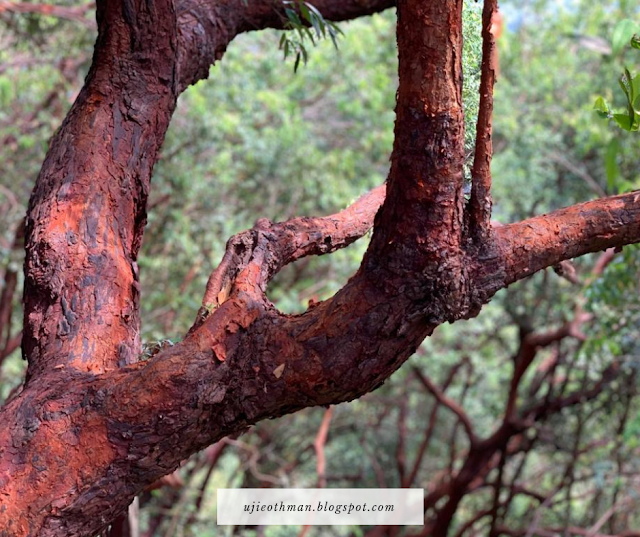 pokok gelam merah