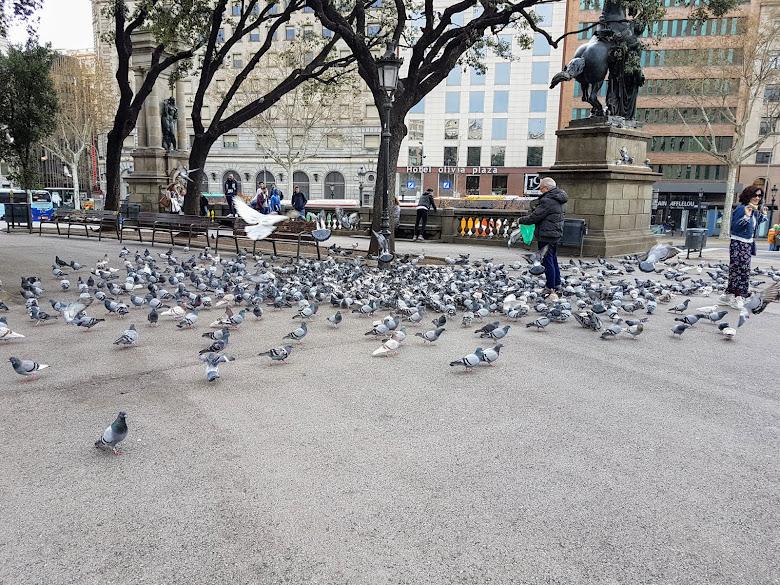 加泰羅尼亞廣場的鴿子群
