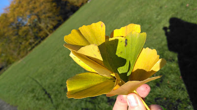 Ginkgo leaves green and yellows
