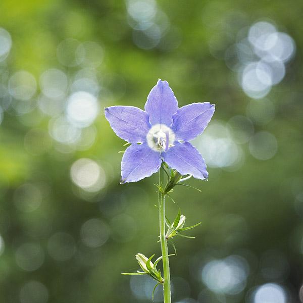 campanulastrum americanum american bellflower minnesota wildflowers