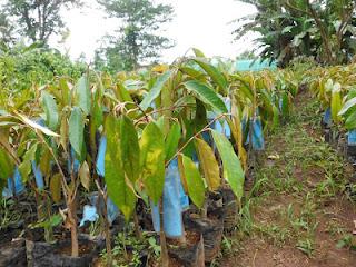 bibit durian montong | bibit durian monthong | jual bibit durian montong | budidaya durian montong | ciri-ciri durian montong | cara bertanam durian montong | perawatan durian montong