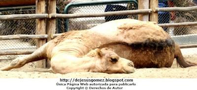 Foto de camello echado bajo el sol en el Parque Zoológico de Huachipa. Foto de camello de Jesus Gómez