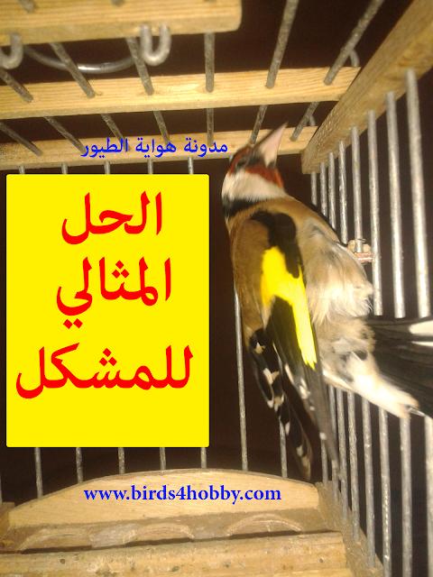 نوم الطائر معلق في زاوية القفص سبب المشكل والحل