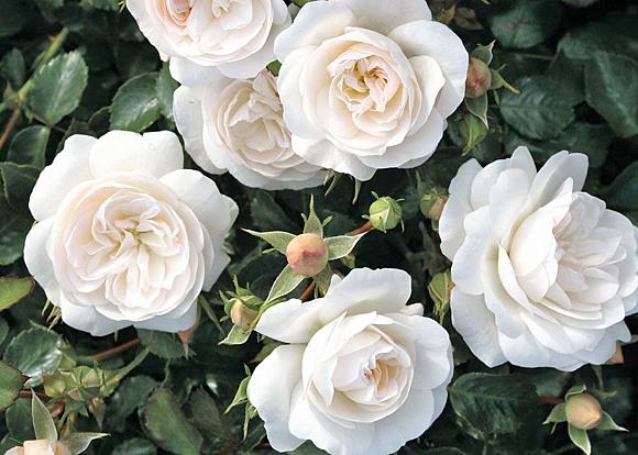 Kastelruther Spatzen rose сорт розы фото