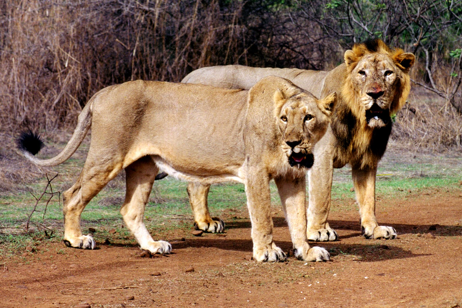 Asiatic Lions, Gir National Park