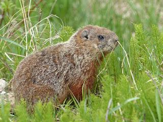 Marmotte commune - Marmota monax