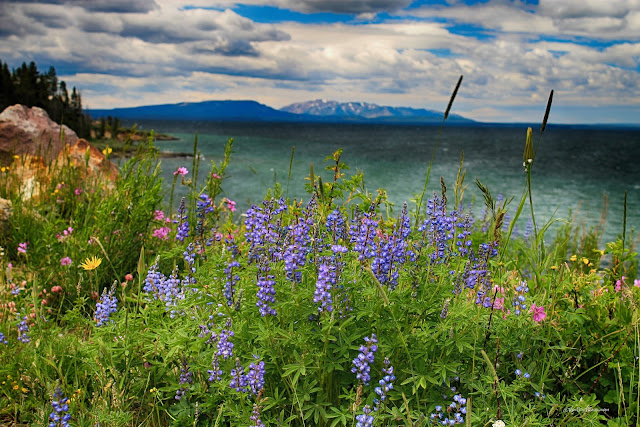 Yellowstone Lake east entrance Absaroka volcanics Buffalo Bill Cody Wyoming copyright RocDocTravel.com