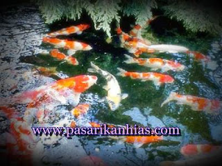 letak kolam ikan koi menurut feng shui