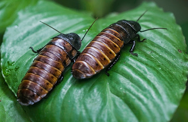 Madagascar Cockroach facts, information and pictures 1
