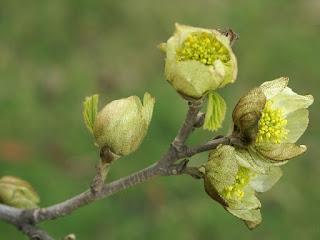 Parrotiopsis jacquemontiana - Parrotie de Jacquemont - Parrotia jacquemontiana