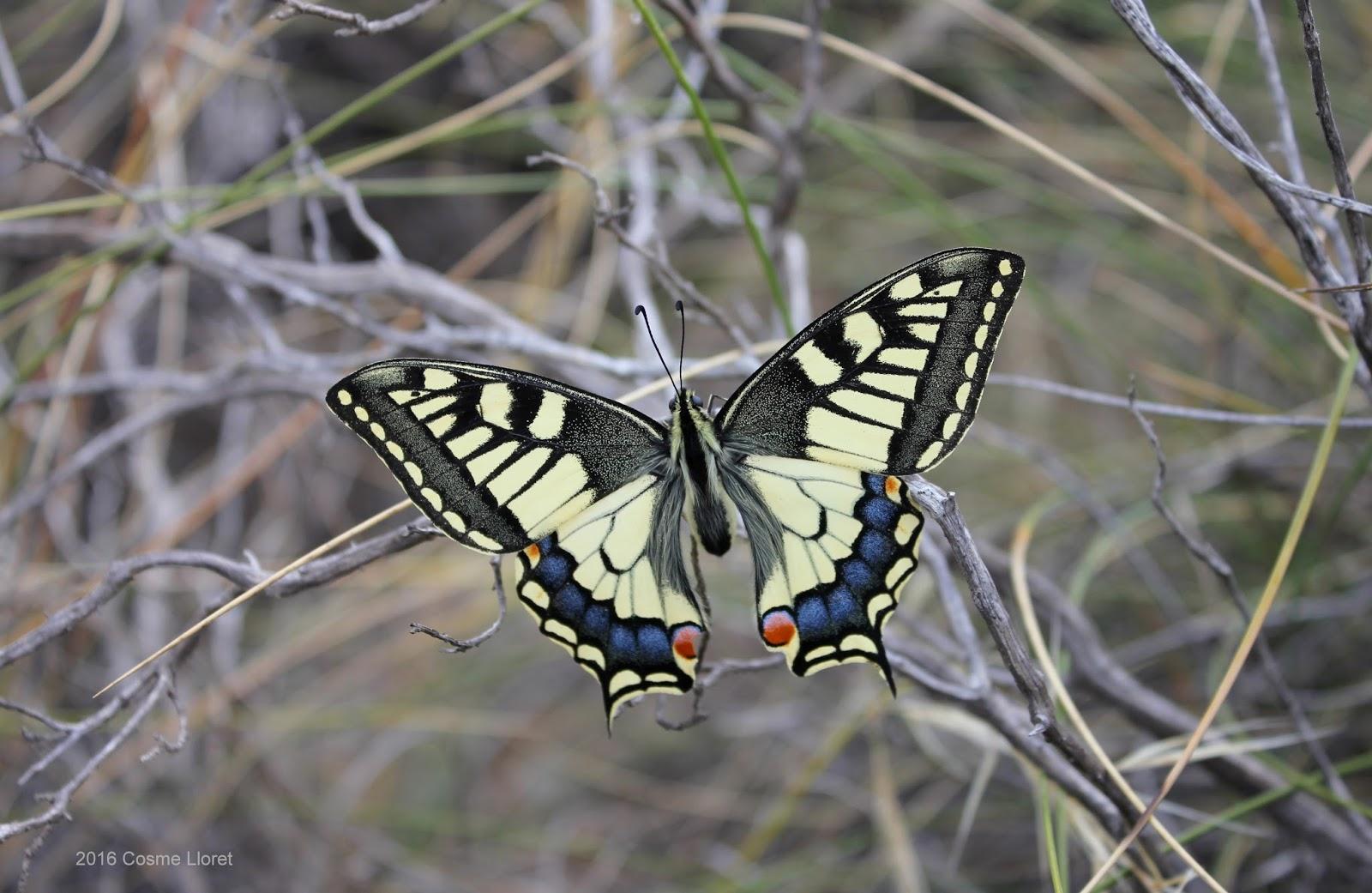 La mariposa con cola de golondrina | Grubial