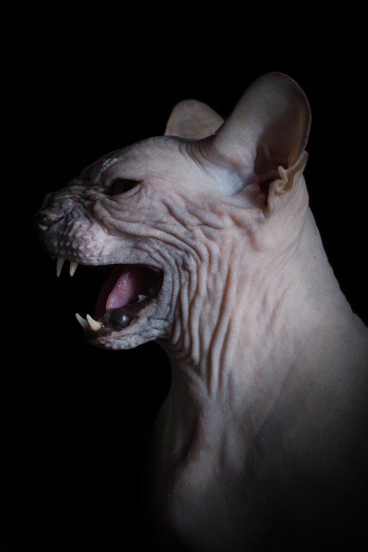 White Wolf : Unique beauty of furless Sphynx cats are ...