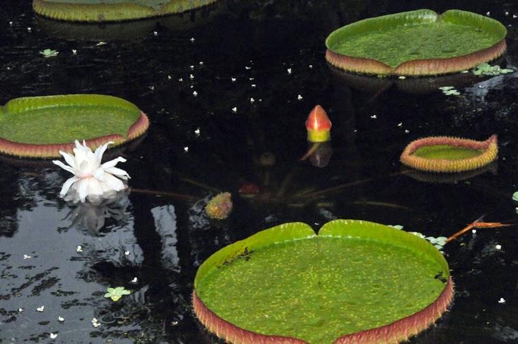 福星花園: 克魯茲王蓮