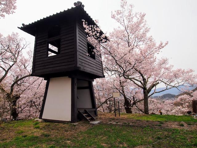高遠城址公園 桜 タカトオヒガンザクラ