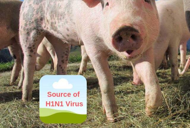 The Pig Source of H1N1 Virus 1