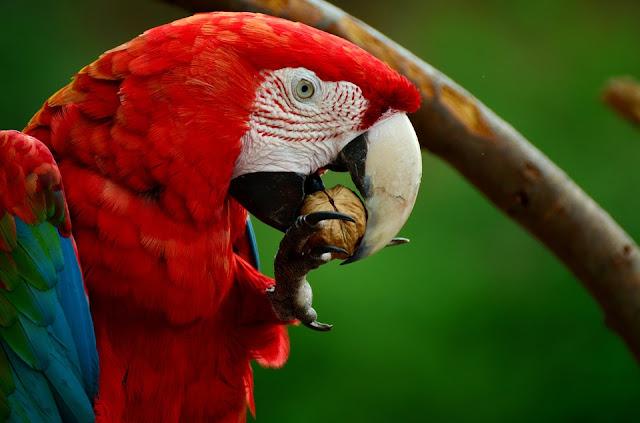 Fakta-Fakta Burung Beo Yang Seru Untuk Dibahas