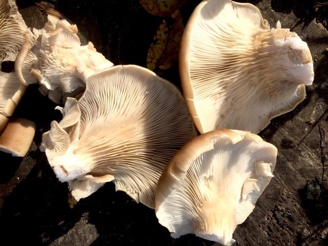 How To Make Oyster Mushroom Spore Print