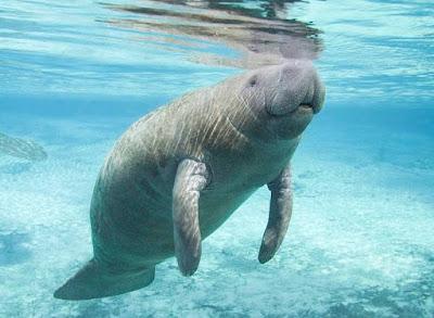 Manatee - Animals That Start With M