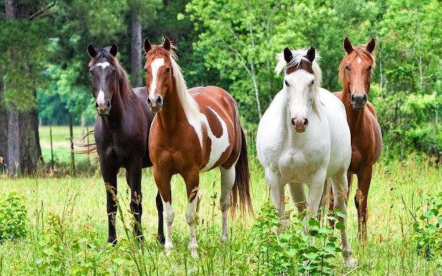 Vier paarden in het weiland