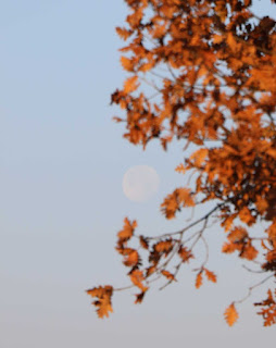 Pale moon behind autumn leaves
