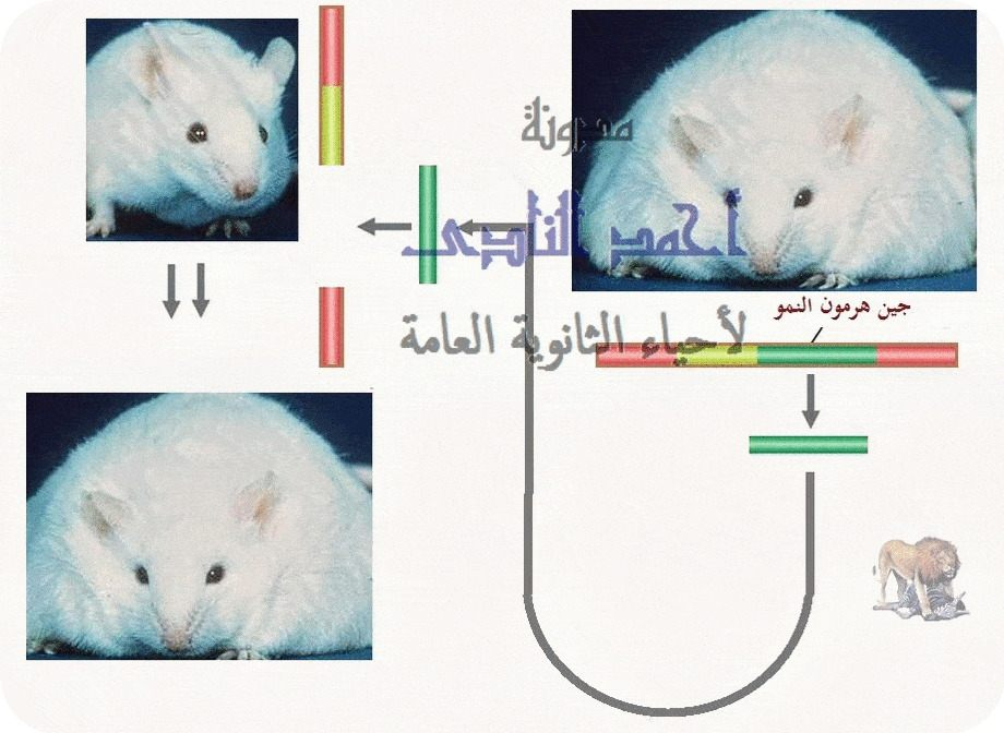 أحياء الثانوية  العامة - تقنيات التكنولوجيا الجزيئية ( الهندسة الوراثية ) - تقنية DNA  معاد الإتحاد  - هرمون النمو - الفأر