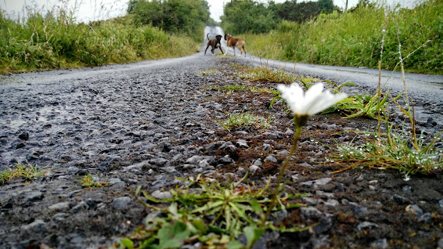 lonely daisy growing in the middle of the road and two boxer dogs in the background