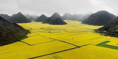 canola flower field, luoping china