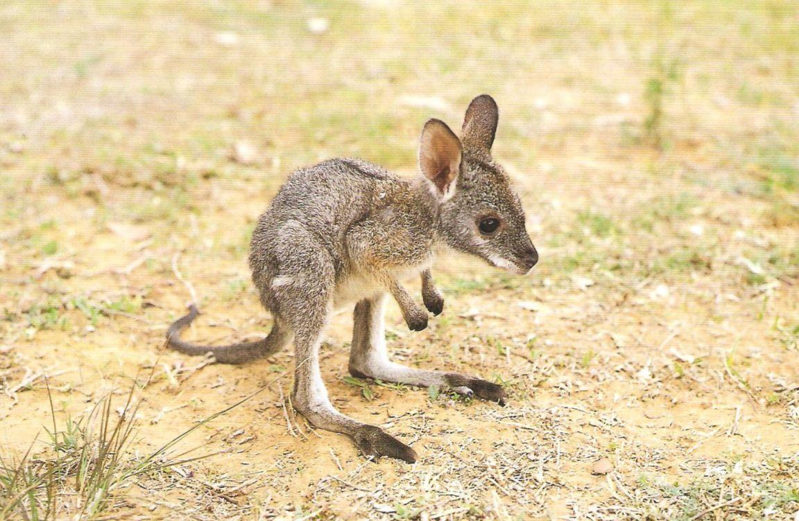 Animals of the world: Eastern grey kangaroo