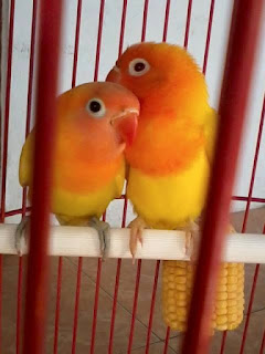 cara merawat indukan lovebird
