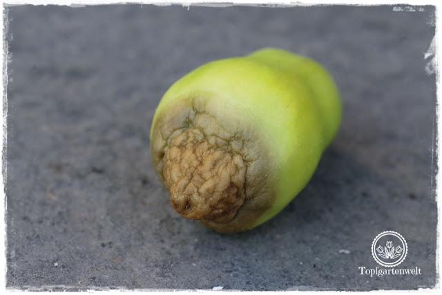 Blütenendfäule an Tomaten: Kalziummangel wegen Hitze - was tun?