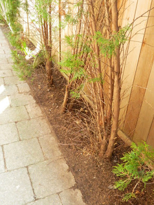 Roncesvalles Toronto spring garden cleanup after by Paul Jung Gardening Services Inc