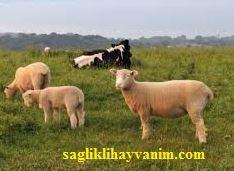 Sığır, Koyun ve Kuzularda Enterotoksemi Hastalığı