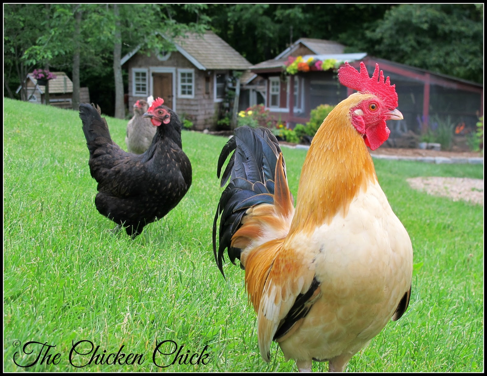 the chicken flystrike in backyard chickens causes