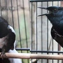 Cara Merawat Kondisi Burung Kacer Agar Selalu Stabil