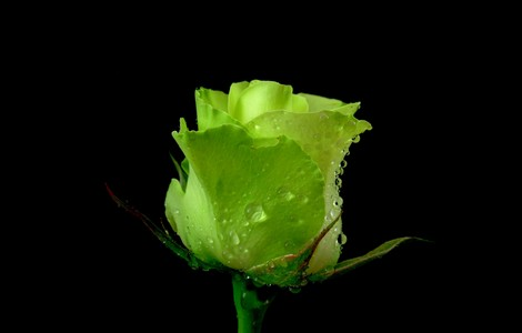 Green-Rose-Wallpaper