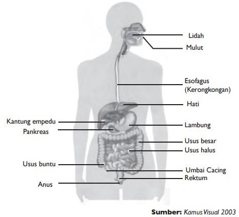 Organ-organ pencernaan yang terdapat pada tubuh kita.