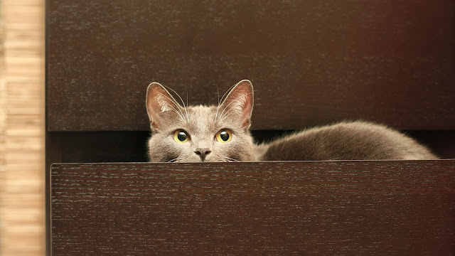 Kat in een lade van een kast