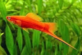 Cara Pembenihan Budidaya Ikan Swordtail Alam Ikan