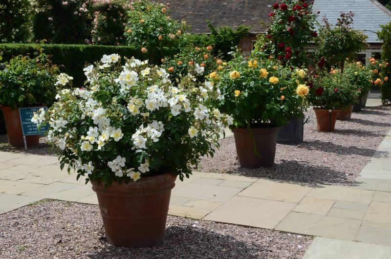 El encanto de las rosas en macetas y contenedores - Rosales en macetas ...