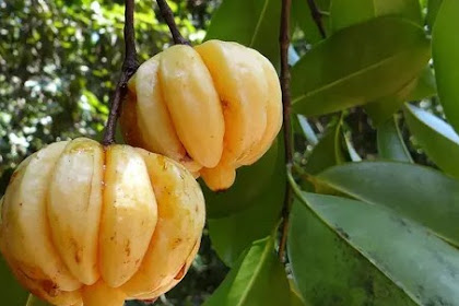 8 benefits of the fruit of the Garcinia Cambogia for health