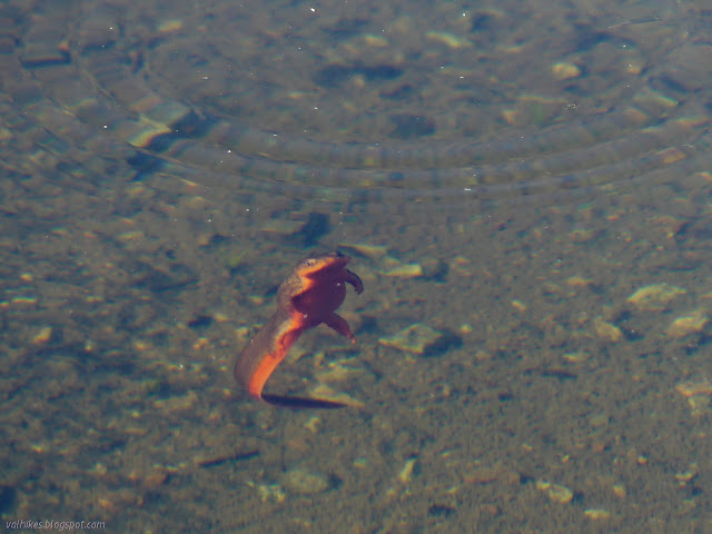 newt in the water with its belly showing