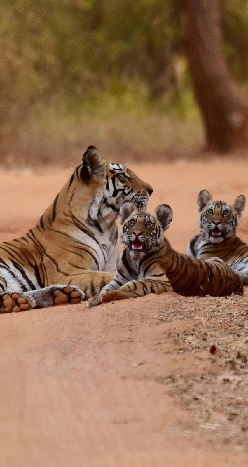 Tiger mother and cubs.