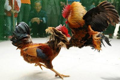 Cara Bermain Sabung Ayam Online