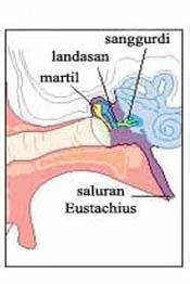 bagian-bagian telinga dan fungsinya