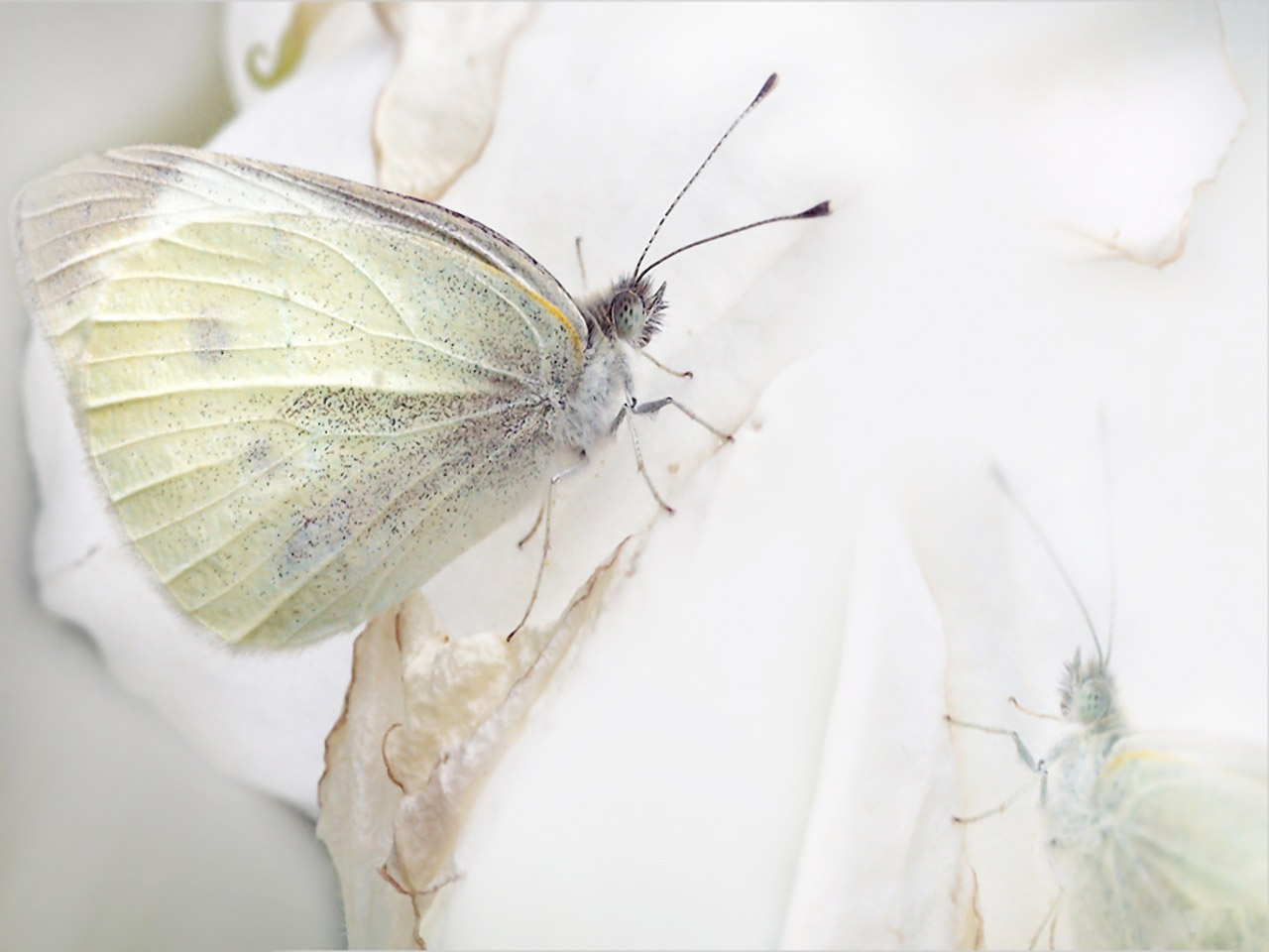 Funny Image Collection Images For White Butterfly Wallpaper