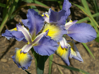 Iris maritime - Iris spuria 'Clark Cosgrove'
